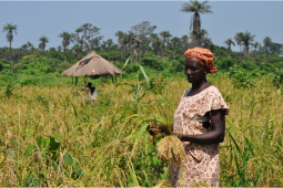 A woman harvests rice in Bianga, Guinea-Bissau.