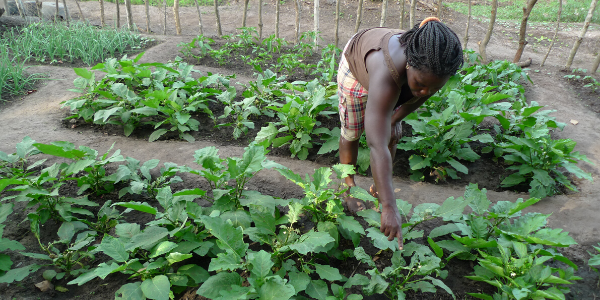 A woman farmer bends over to examine green crops growing in rows in a garden